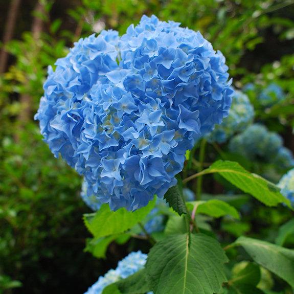 青いアジサイ(森山町)