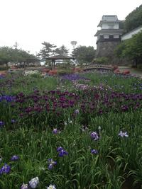 大村公園:花菖蒲2013