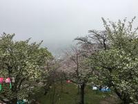 霧と桜の情熱の間に
