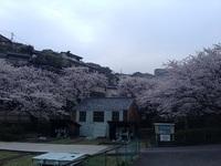 小菅修船場跡の桜