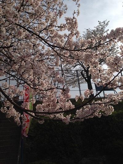 長崎立山公園の花見事情