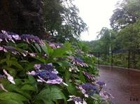 長崎風頭公園の紫陽花