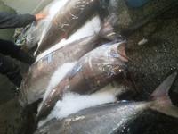 長崎魚市 巨大赤鼻