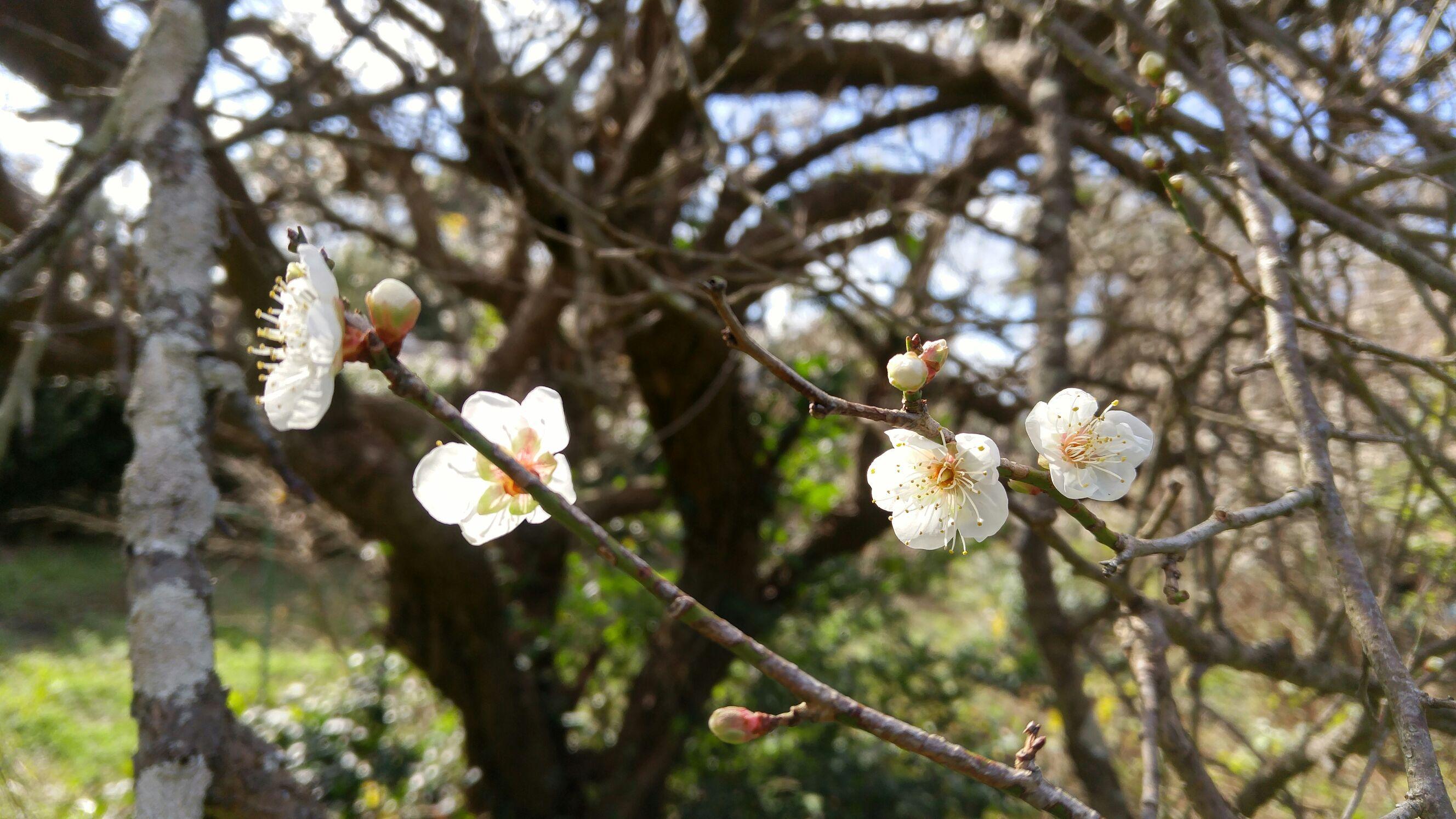 今年初めての梅の花!@おぢか島