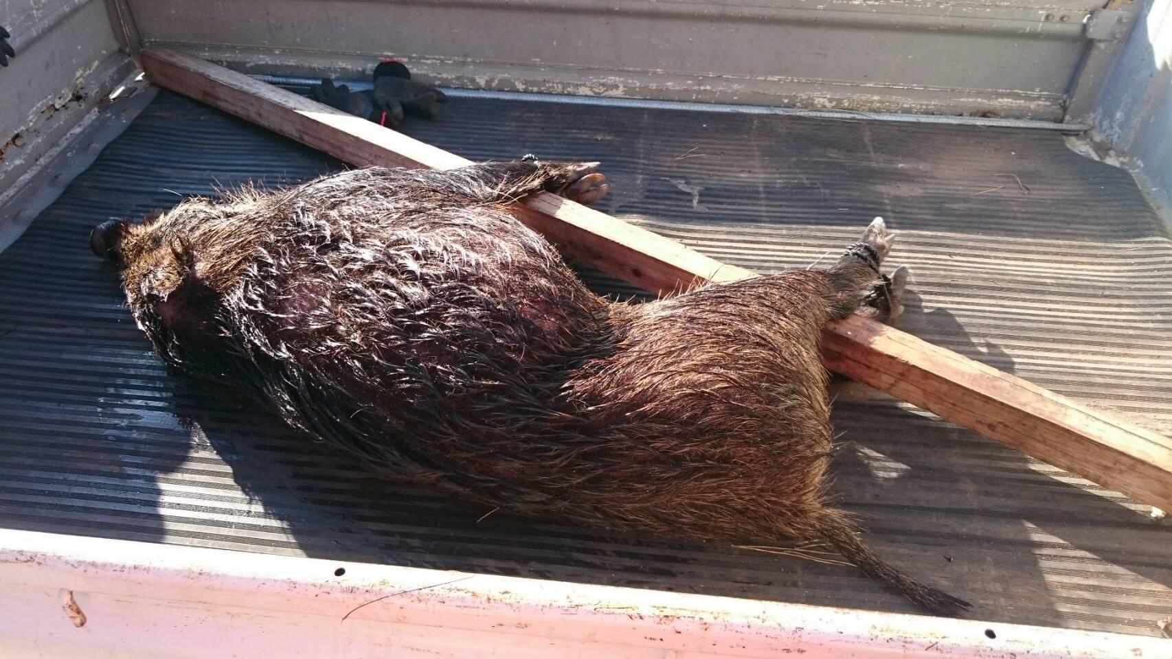 有害捕獲で猪3頭が捕獲されました!
