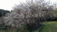 梅の花が満開!!@おぢか島