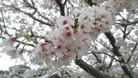 おぢか島は今、桜が見ごろです!!