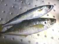 いただいた魚で刺身盛り!
