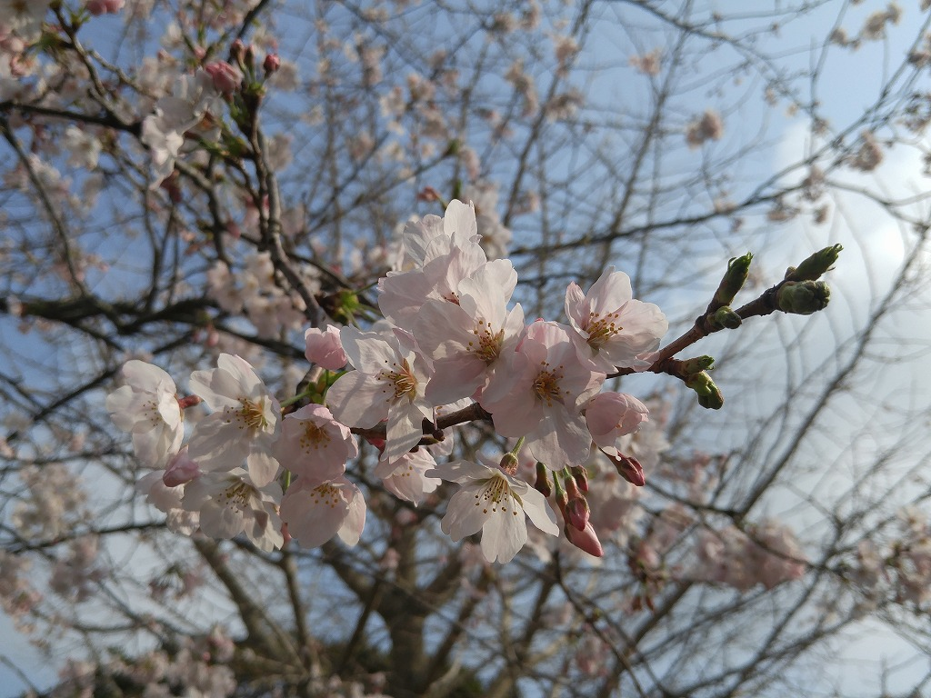 小値賀の桜ももうすぐ満開!!