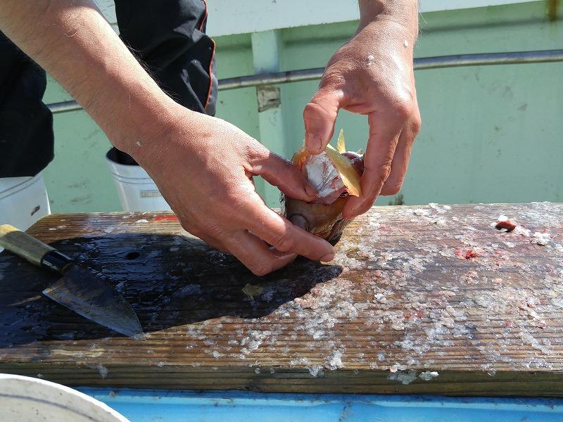 旬のイサキと、珍しい箱ふぐをゲット!