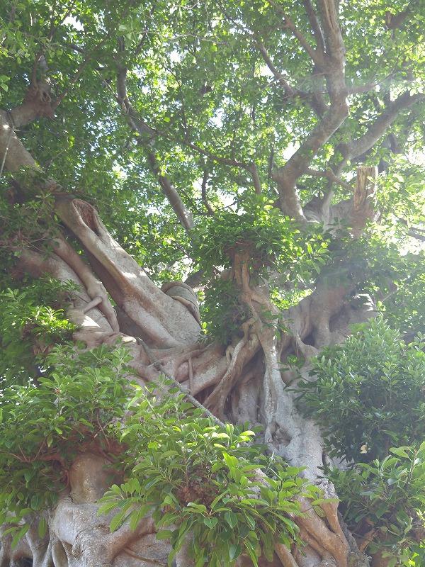 小値賀で一番大きなアコウの木!!