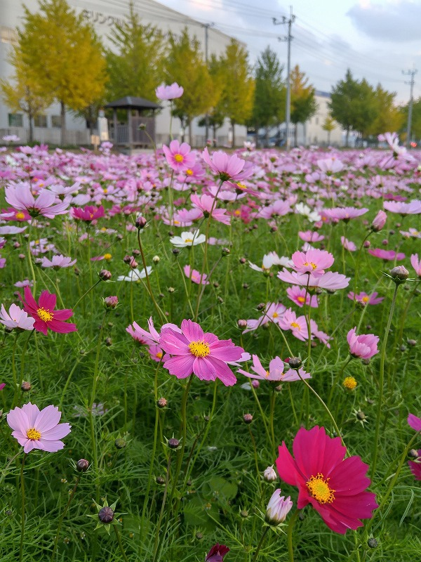 秋の花。コスモス畑☆