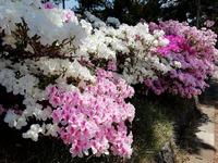 おぢか島の春は「ツツジ」も楽しめます!