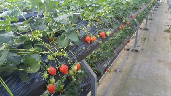 食農体験ソムリエ研修で、人生初のイチゴ狩り!