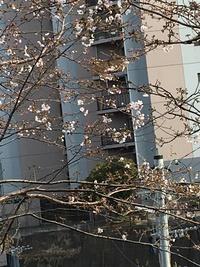 桜と母とおチビさん