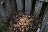 梅園身代わり天満宮 梅の花は1~2分咲きくらい