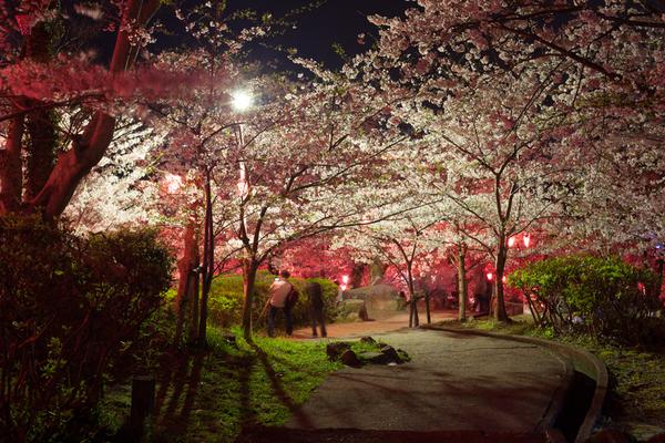 お花見、立山公園 2016 夜桜見物
