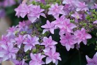 紫陽花季 2016