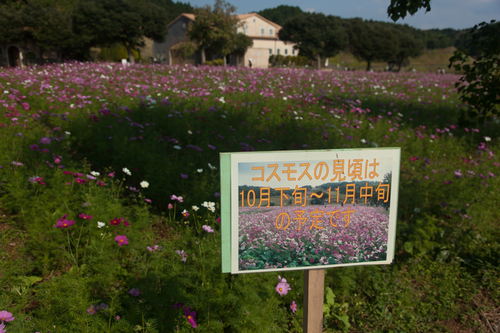 コスモス畑@あぐりの丘
