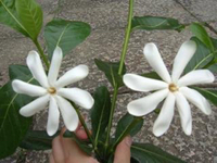 タヒチのお花