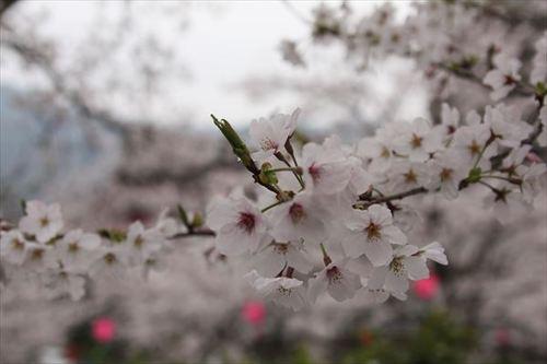 立山お花見
