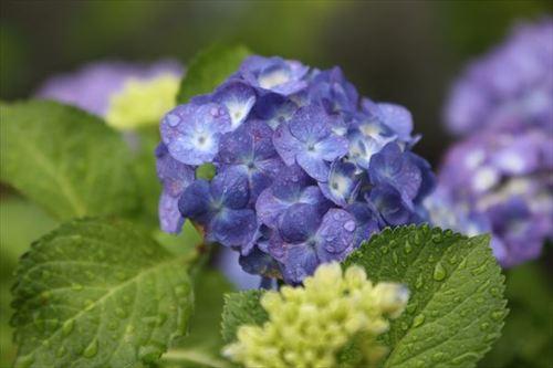 紫陽花季 2013