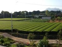 雲仙茶の緑が綺麗です。 2013/04/27 07:42:13