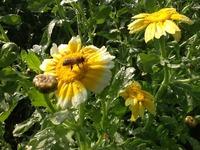 働きものミツバチの写真 2013/05/01 10:29:22