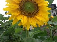 我が家で、。ひまわりが元気に咲いてます。 2013/06/03 08:32:10