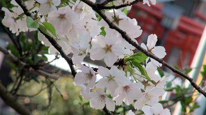 ★桜さるく♪♪